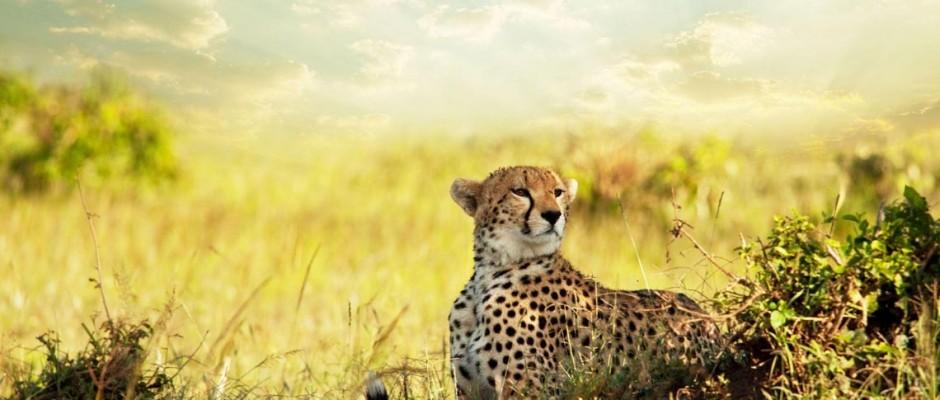 cheetah-slide-1