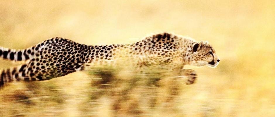 cheetah-slide-2